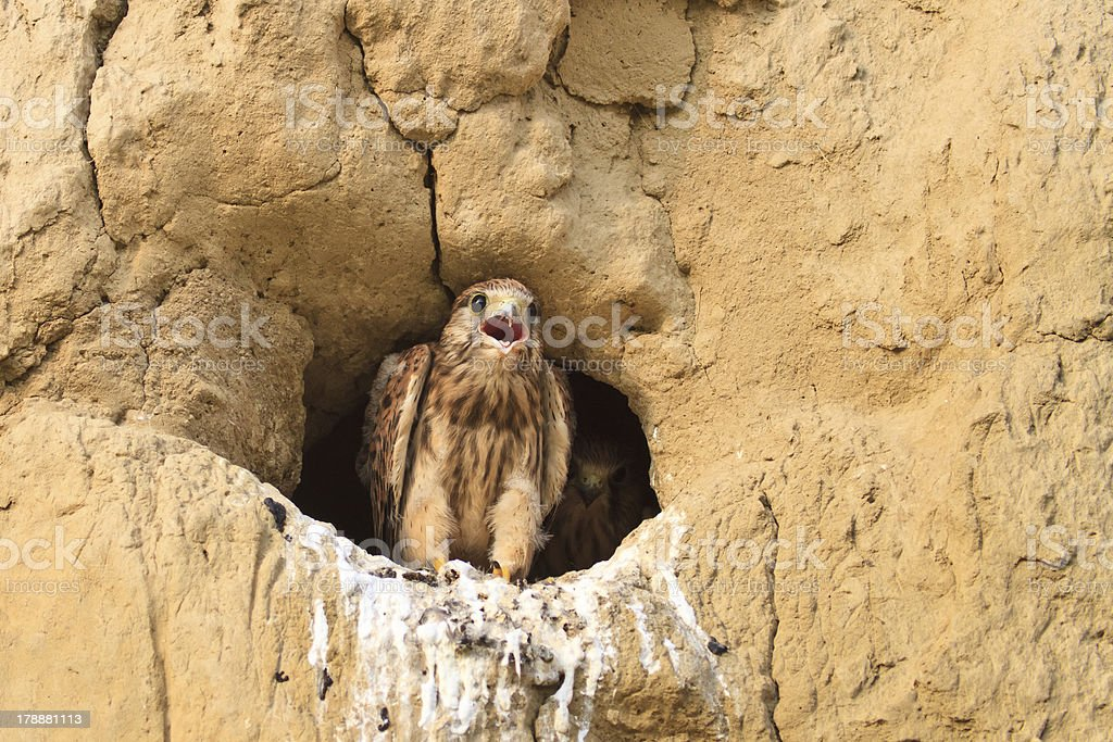 young common kestrel royalty-free stock photo