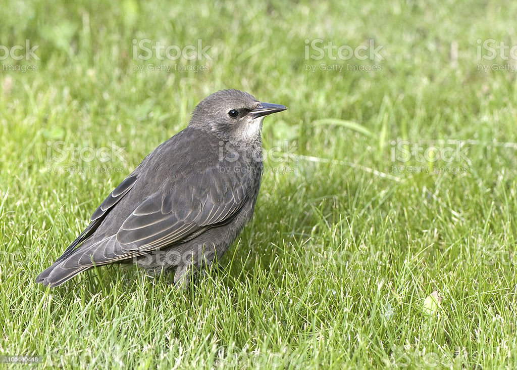 young common starling royalty-free stock photo
