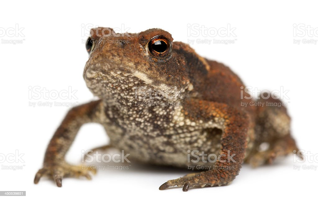 Young Common toad, bufo, in front of white background stock photo