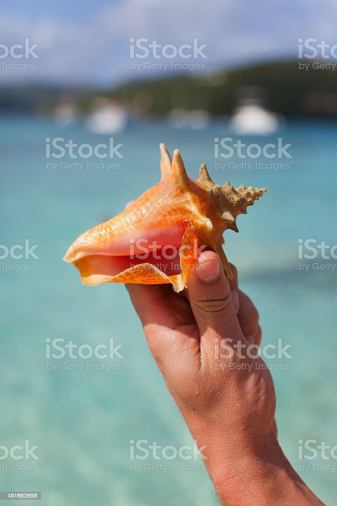 Young Conch Shell stock photo