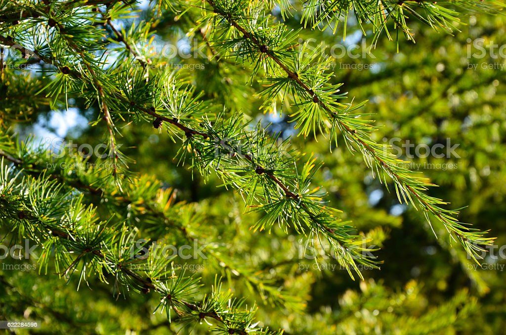 Young conifer of a larch tree closeup stock photo