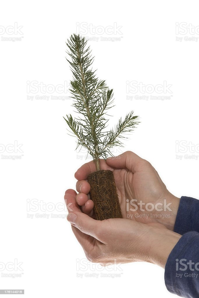 Young coniferous tree held on white background. royalty-free stock photo