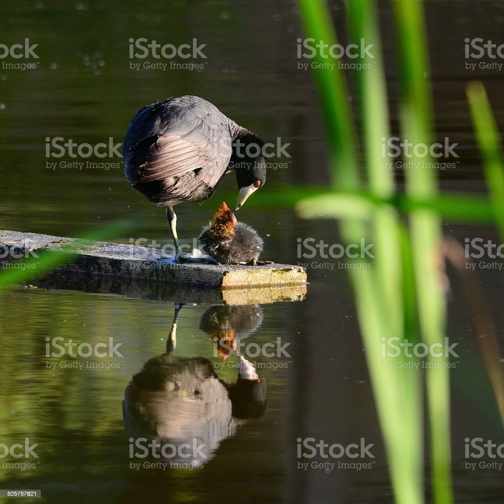 Young Coot stock photo