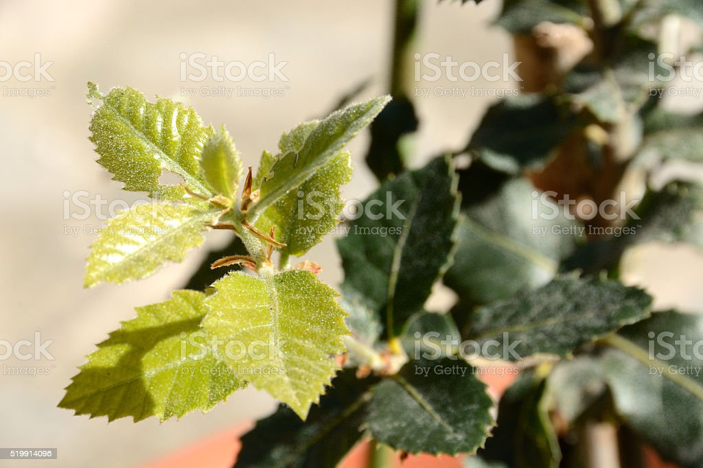 Young cork oak leaves stock photo