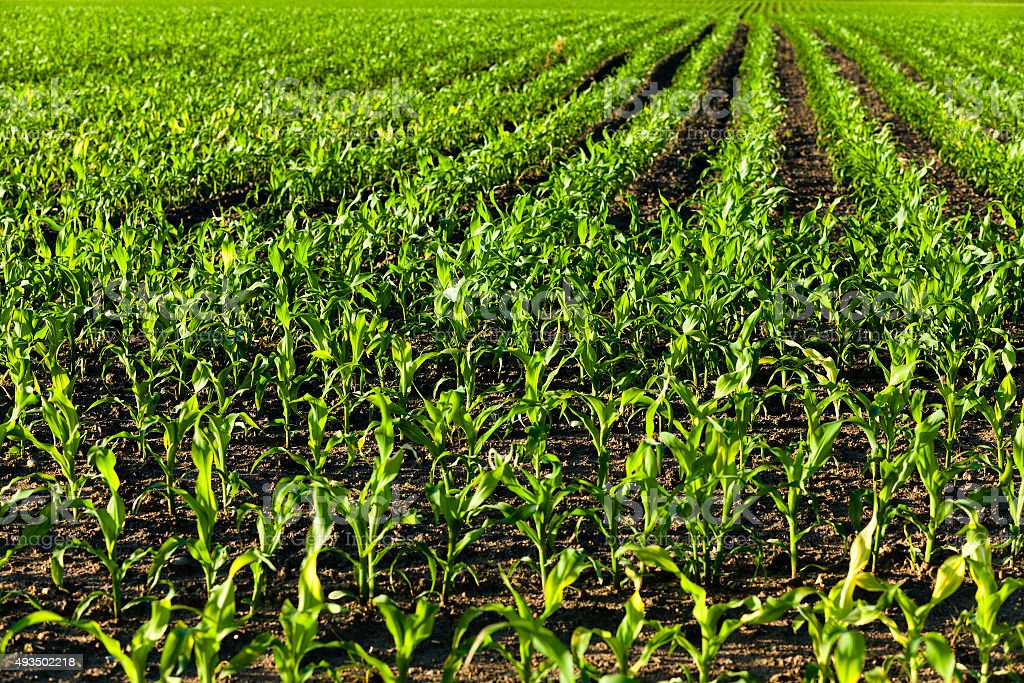 young corn . agricultural field stock photo