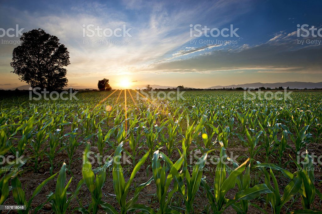 Young Corn Field royalty-free stock photo