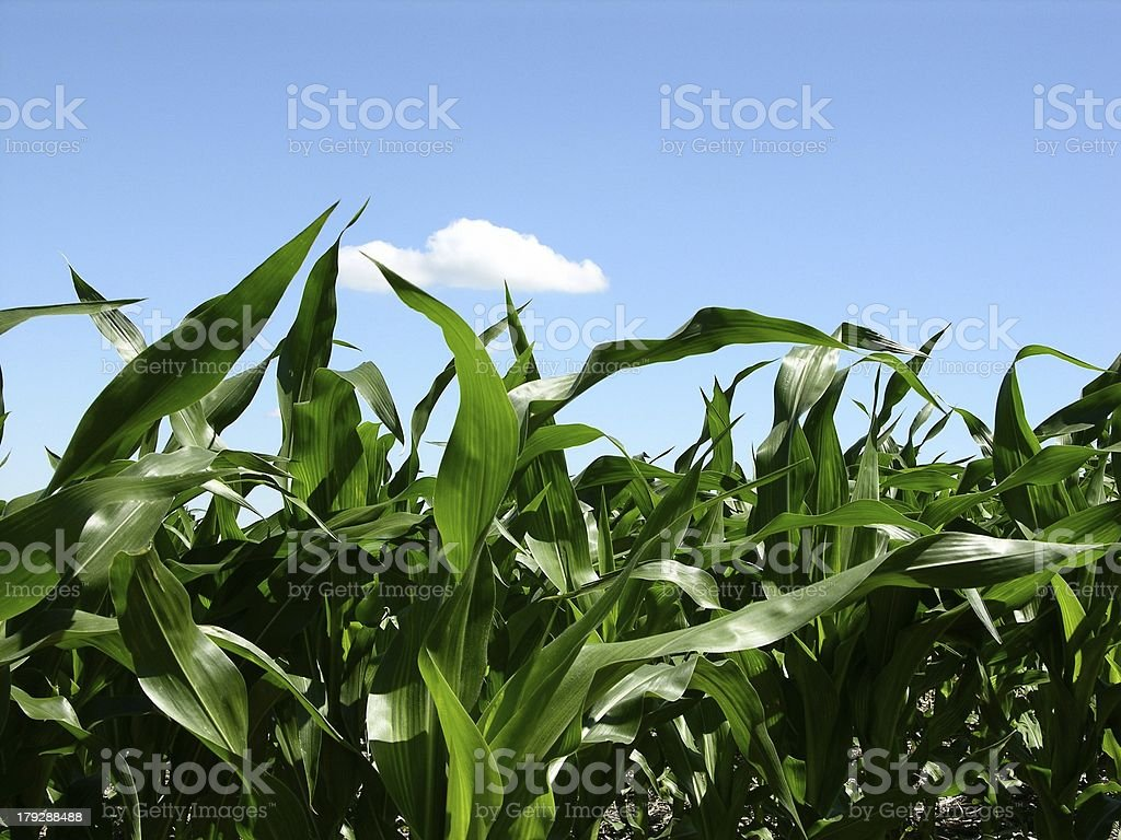 Young Corn Field stock photo
