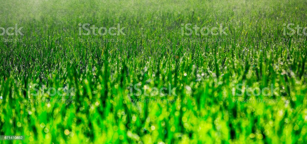 Young corn grows in a field that has just been watered stock photo