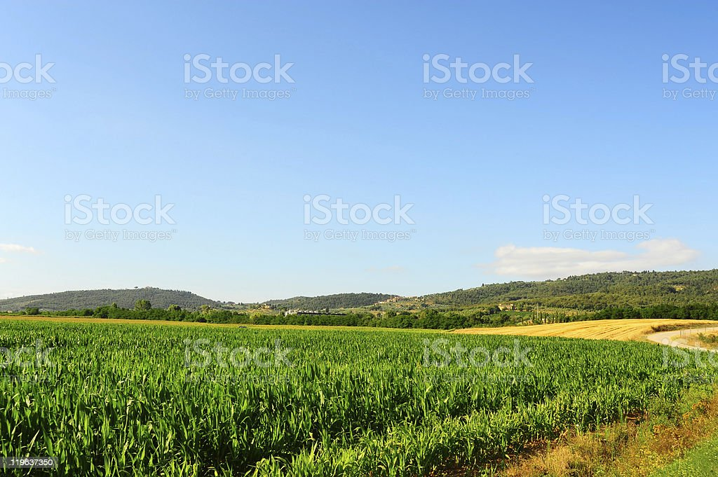 Young Corn royalty-free stock photo
