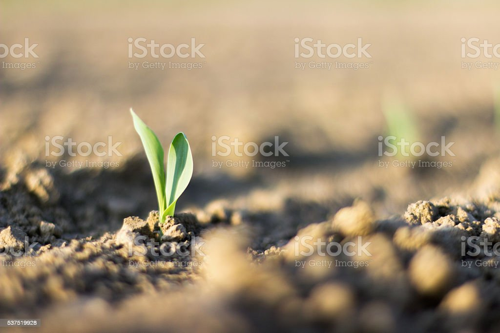 Young corn plant sprout growing from the ground, Agricultural Farm stock photo