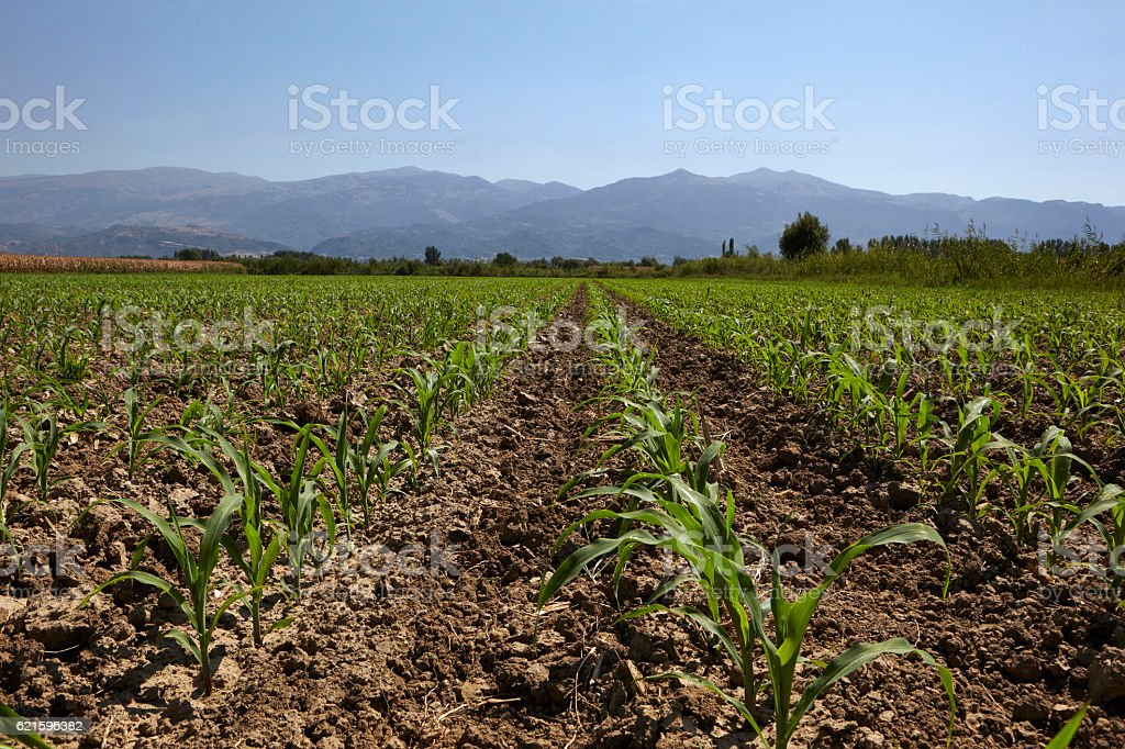 Young corn seedling grows at spring stock photo