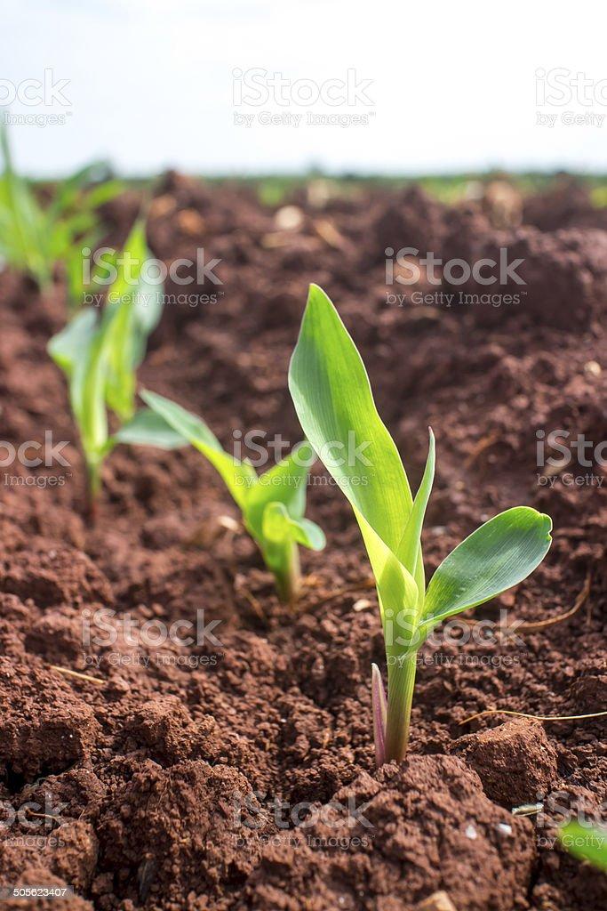 Young corn seedling. stock photo