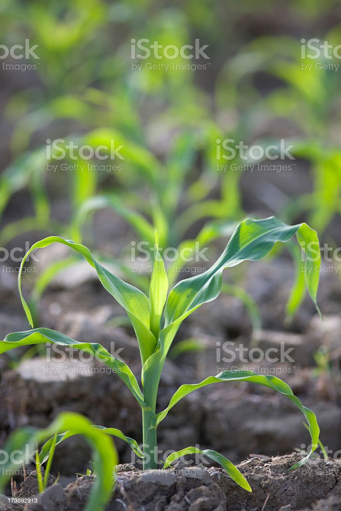 Young corn seedlings in a field. royalty-free stock photo