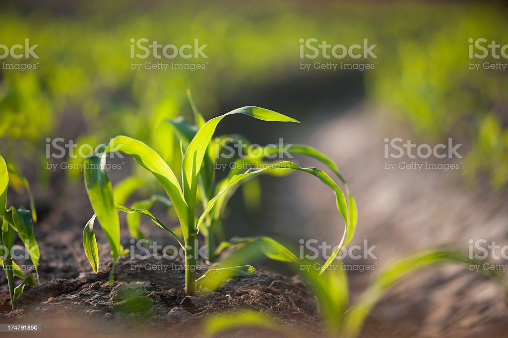 Young corn seedlings in a field. stock photo