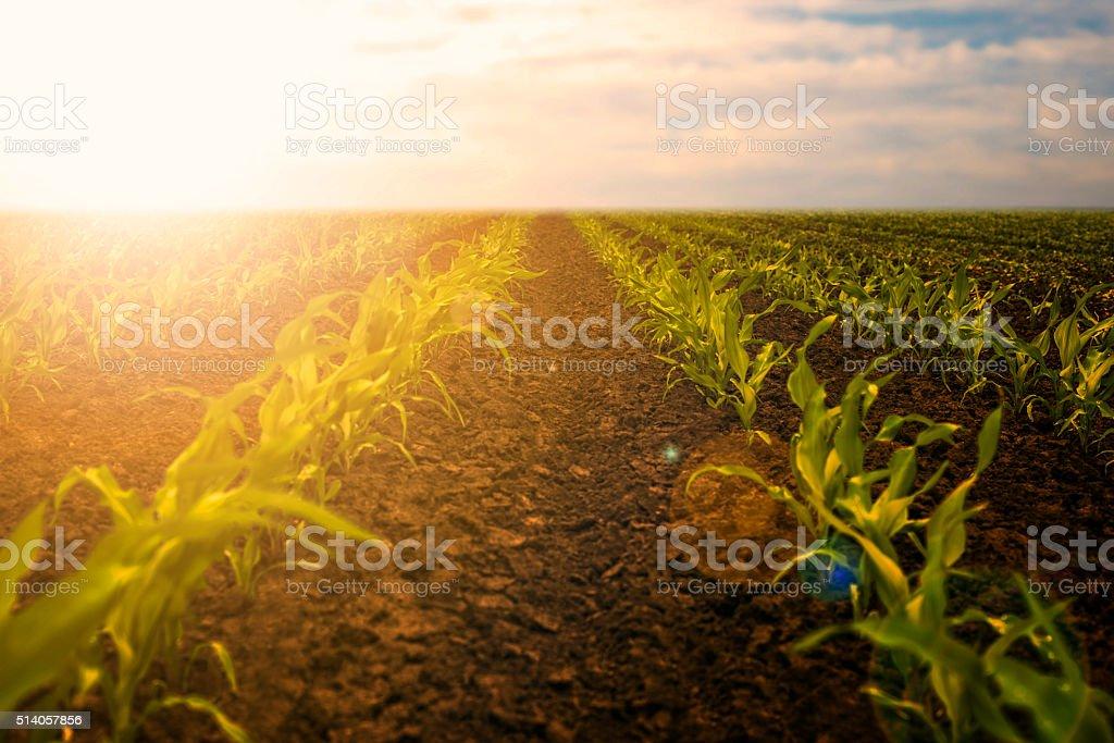 Young corn seedlings stock photo