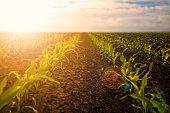 Young corn seedlings