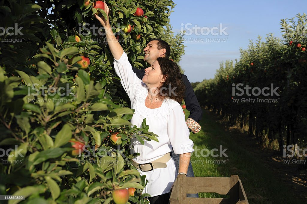 Young couple apple picking in the orchard royalty-free stock photo