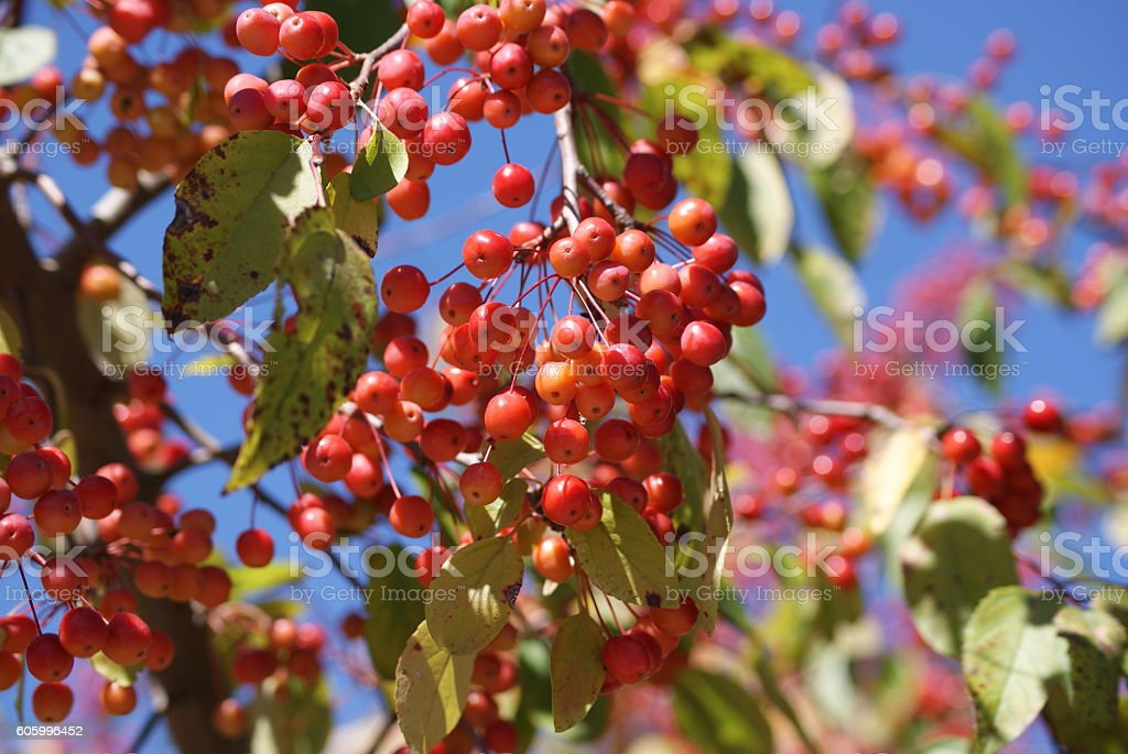 Young Crabapple Fruit on Springtime Tree stock photo