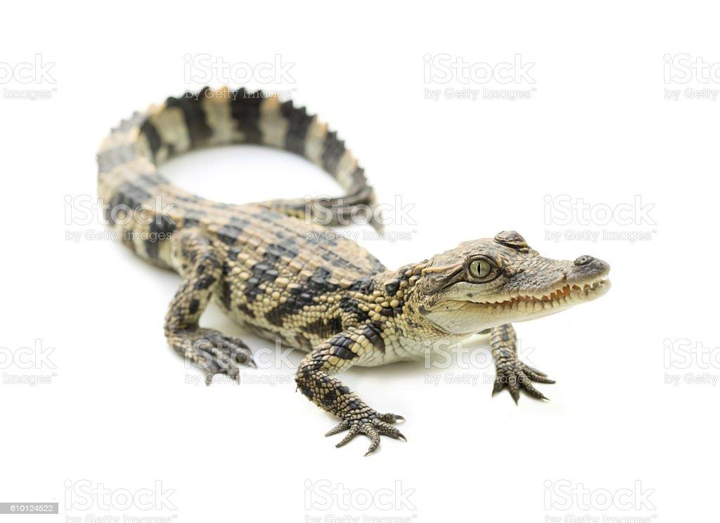 young crocodile on white background stock photo