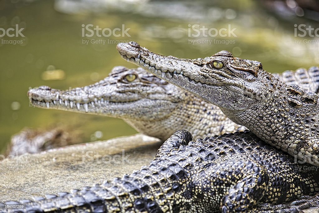 Young crocodile royalty-free stock photo