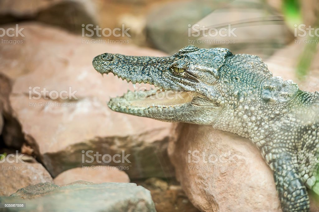 young crocodile stock photo