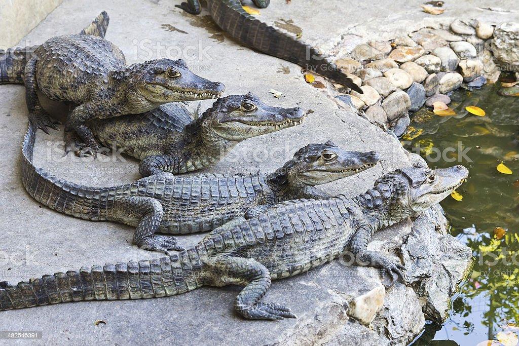 Giovane coccodrilli guardare foto stock royalty-free