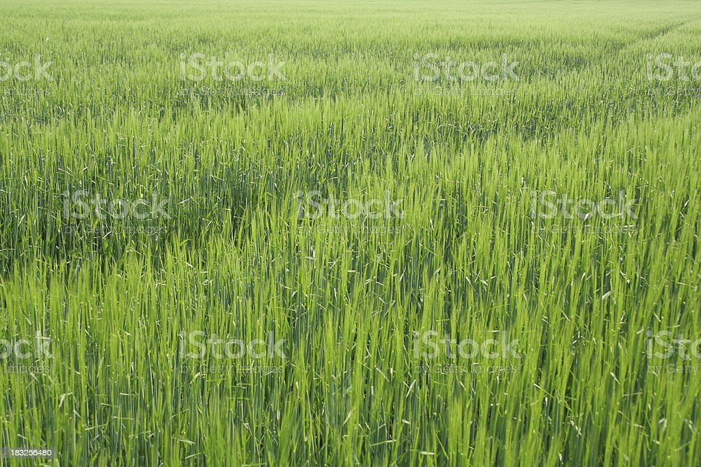 Young Crop Background royalty-free stock photo
