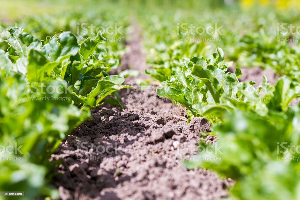 Young crops growing in brown soil stock photo