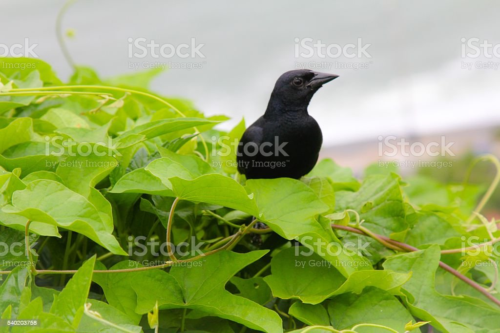 Young Crow stock photo
