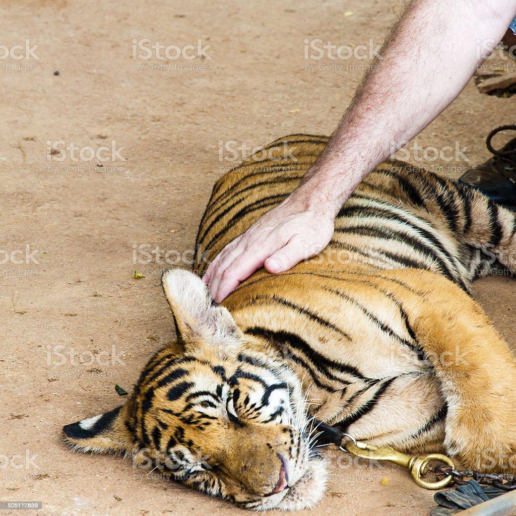 Young cub at  famous Tiger Temple in Kanchanaburi, Thailand stock photo