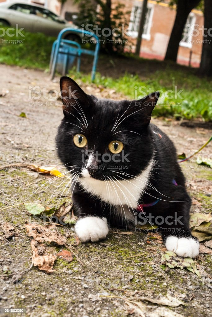 Young curious black and white pet cat on harness is walking in city in summer. stock photo