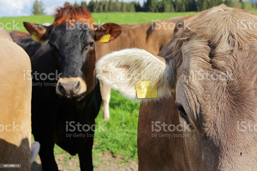 Young curious brown cattle stock photo