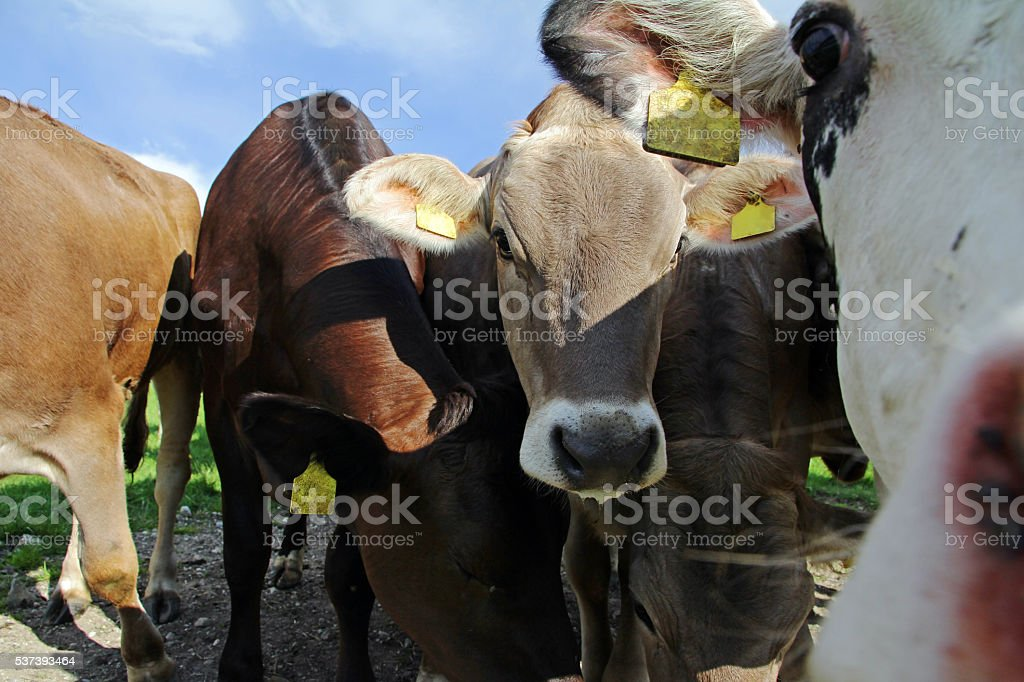 Young curious brown cows and Simmental cows stock photo