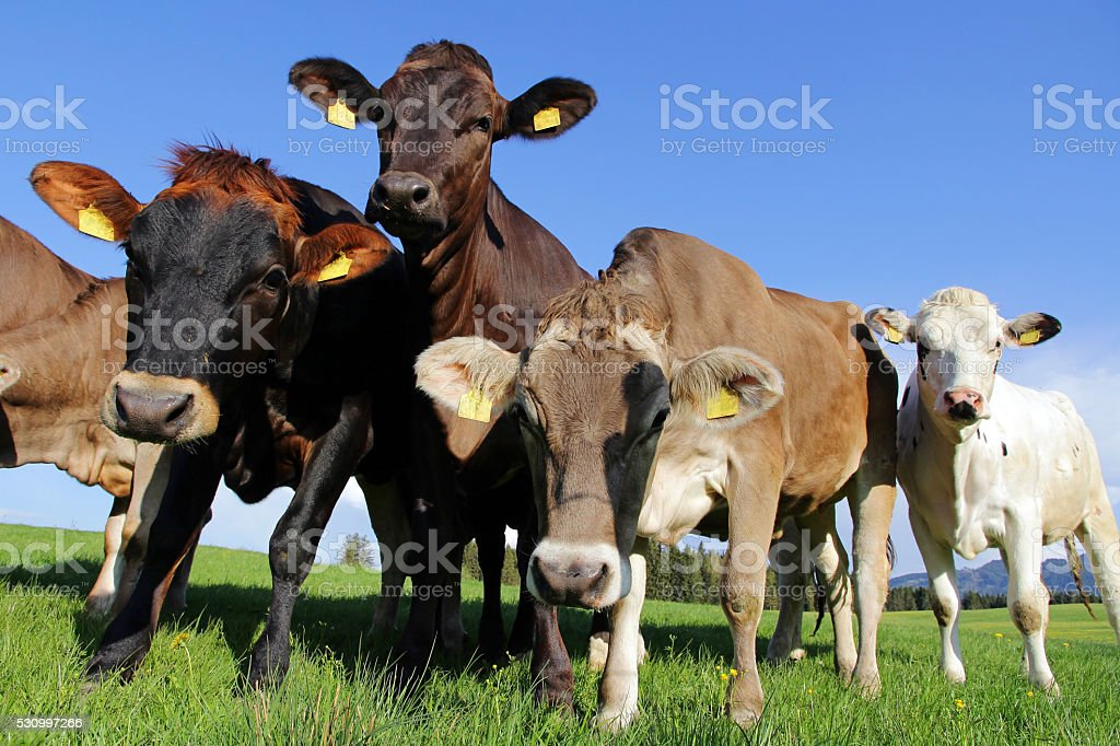 Young curious Brown Swiss and Simmental cows stock photo