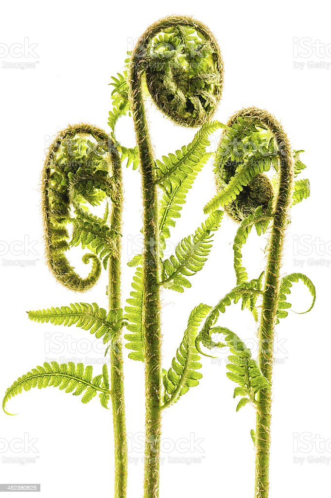 Young curly fern leaves isolated on white stock photo
