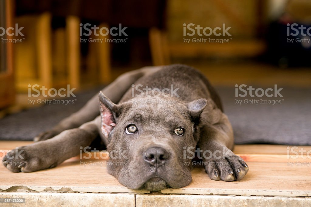 Young cute dog , Cane Corso puppy stock photo