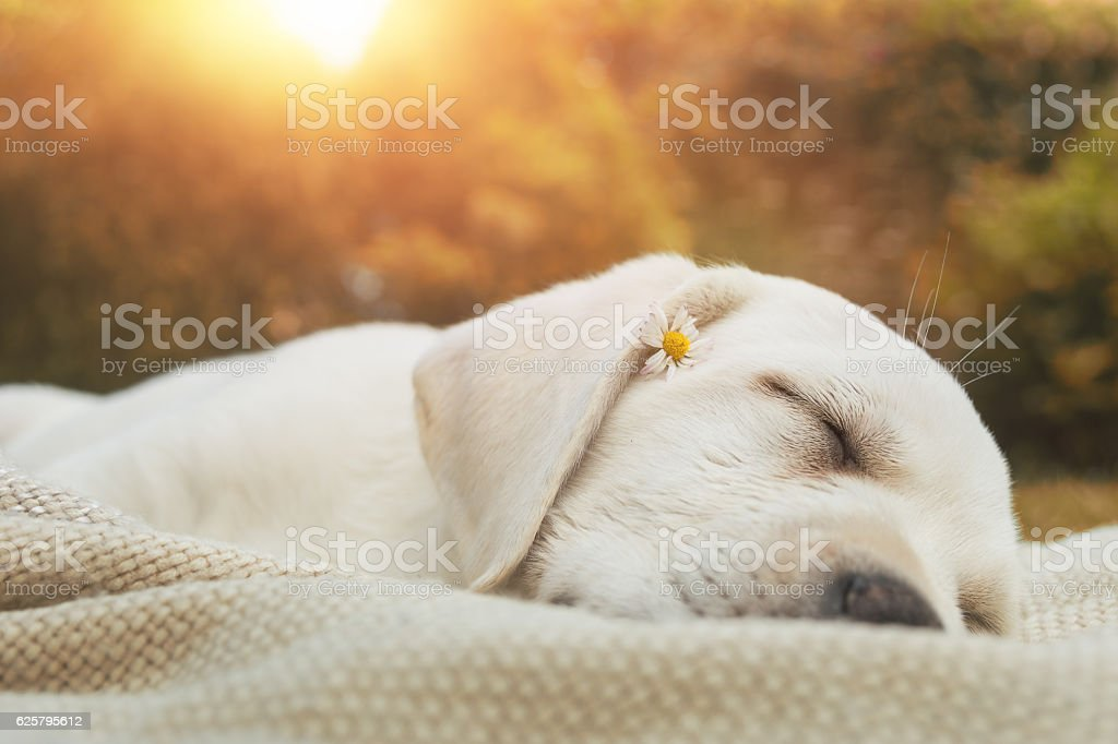 young cute labrador retriever puppy sleeping on meadow by sunset stock photo
