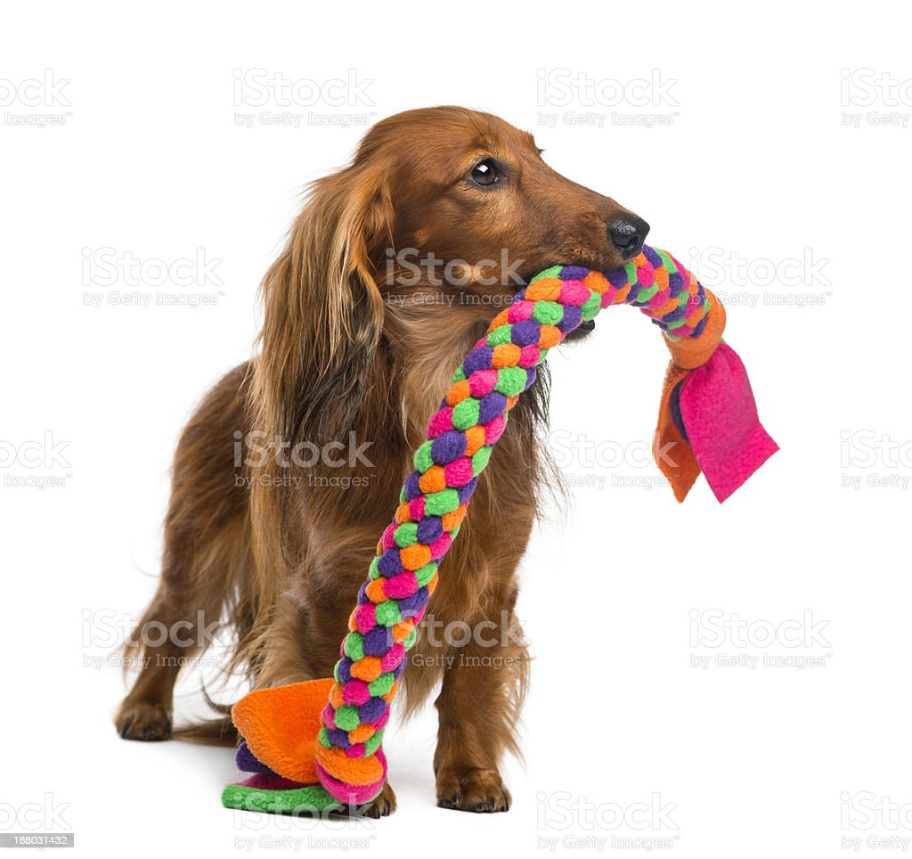 Young dachshund biting dog toy over white backdrop royalty-free stock photo