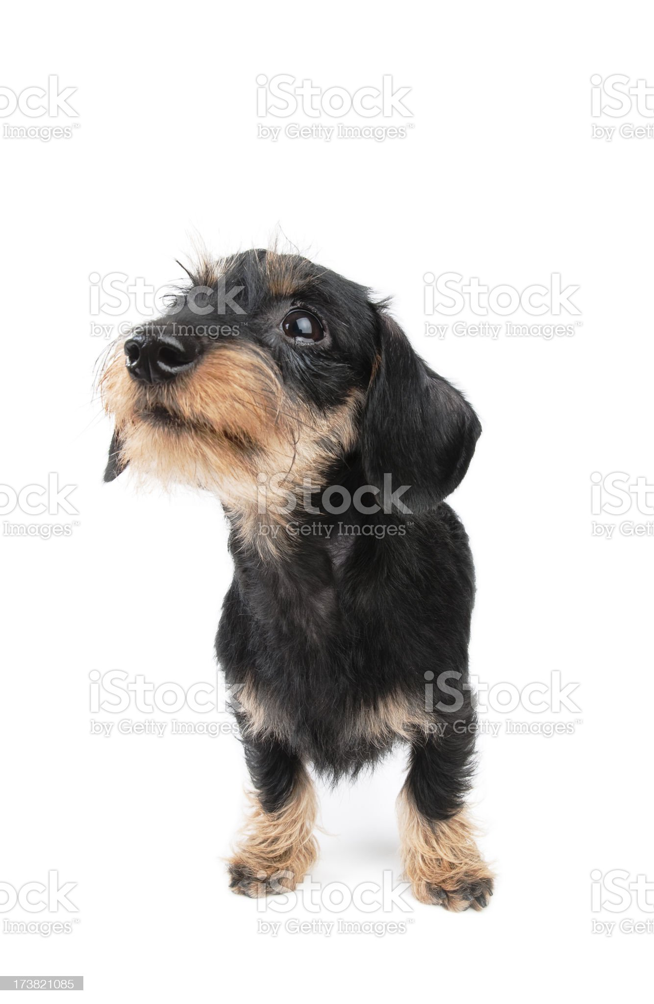 Young dachshund royalty-free stock photo