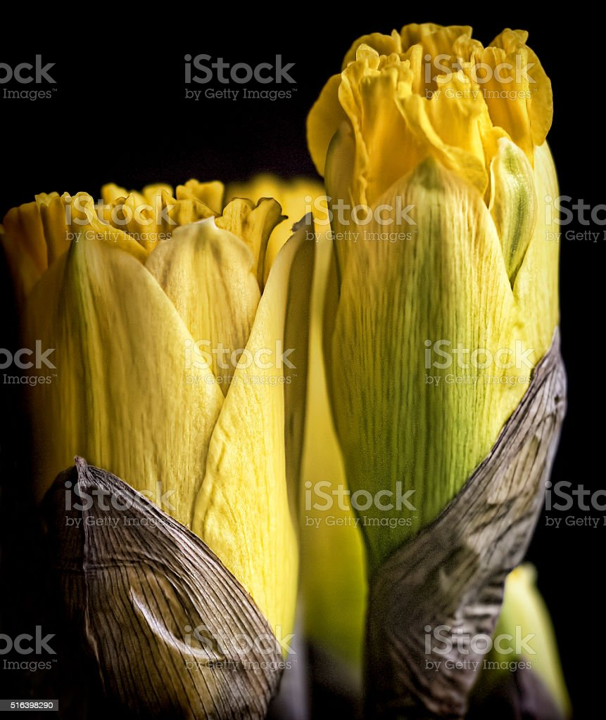 Young Daffodills stock photo
