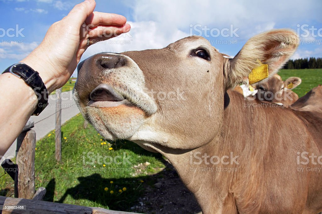 young dairy cow licks the hand of a woman stock photo