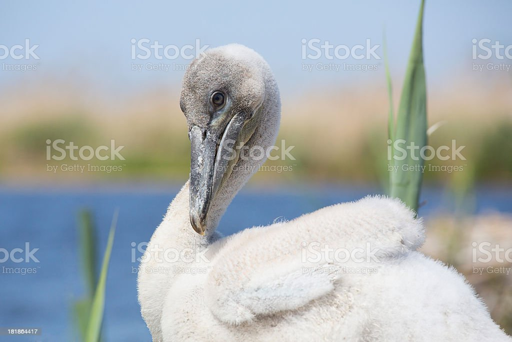 Young Dalmatian Pelican in the nest royalty-free stock photo