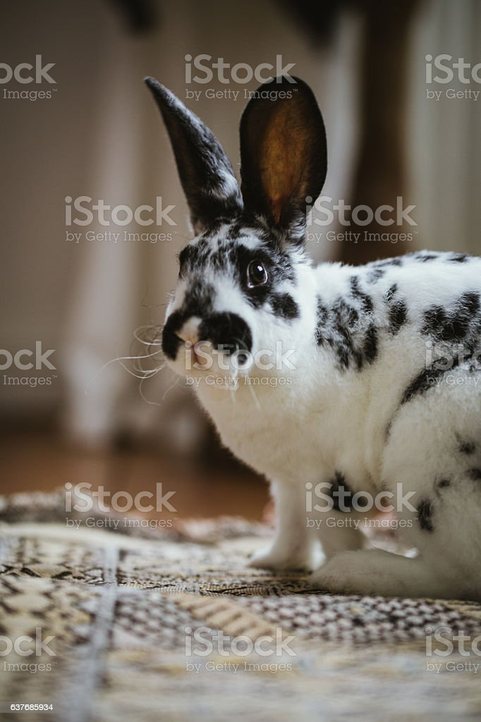 Young dalmation rex bunny on apartment floor stock photo