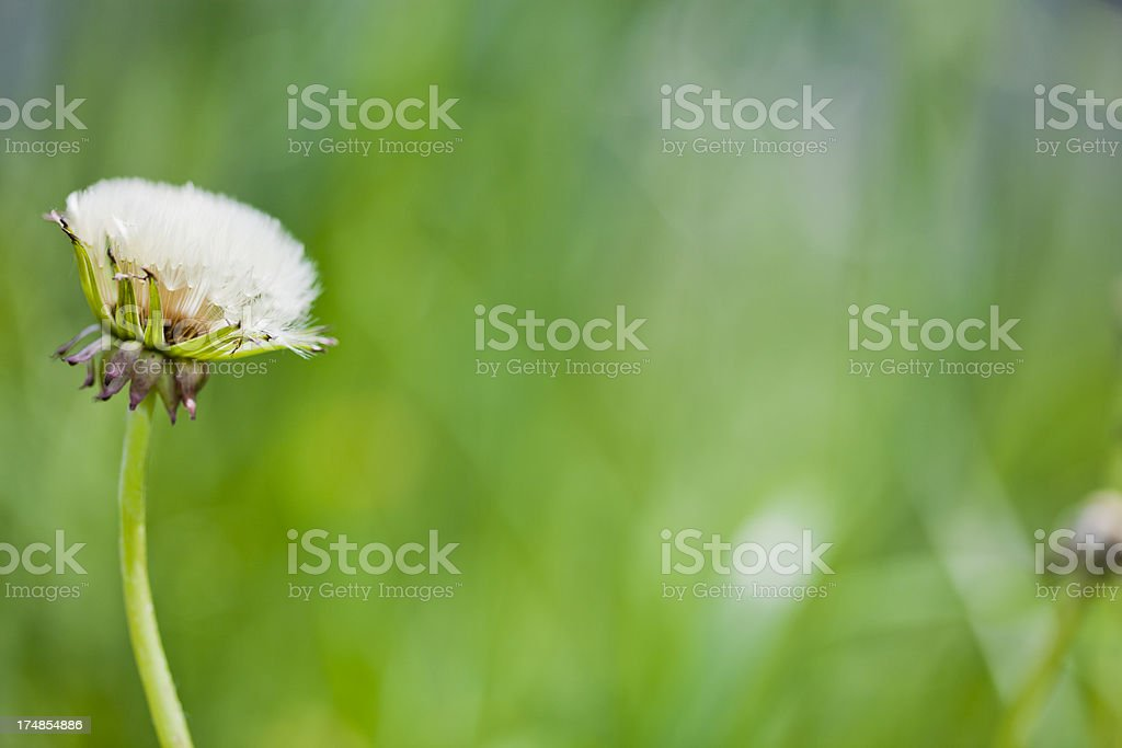 Young Dandelion royalty-free stock photo