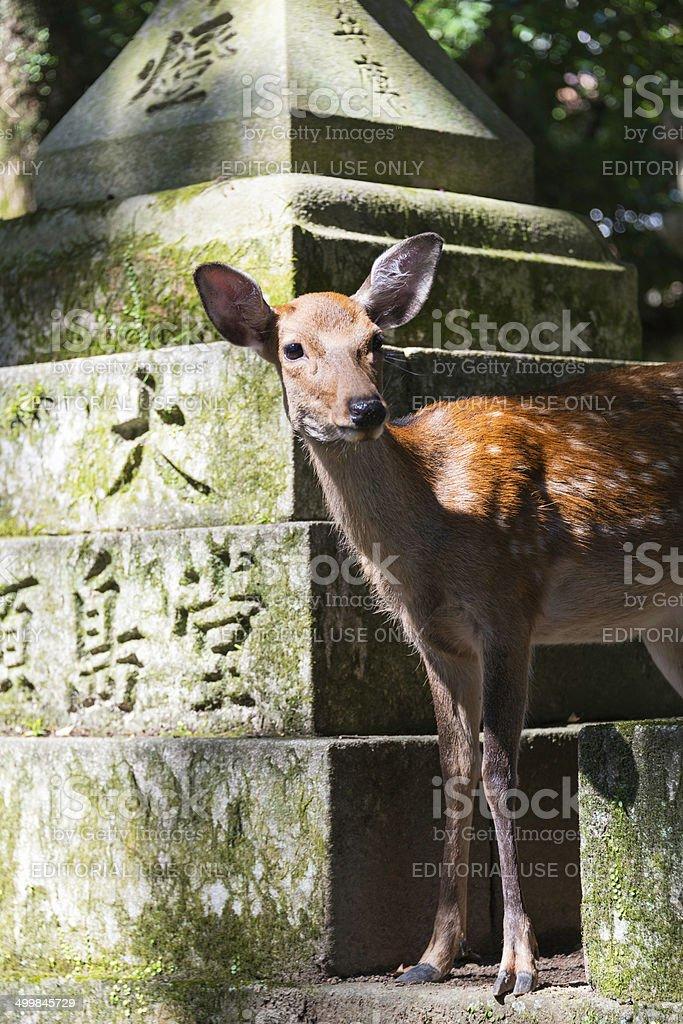 Young deer among stone lanterns in Kasuga Shrine, Nara stock photo