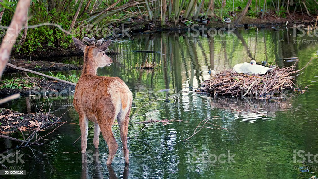 Young deer and nesting swan. Nature scene stock photo