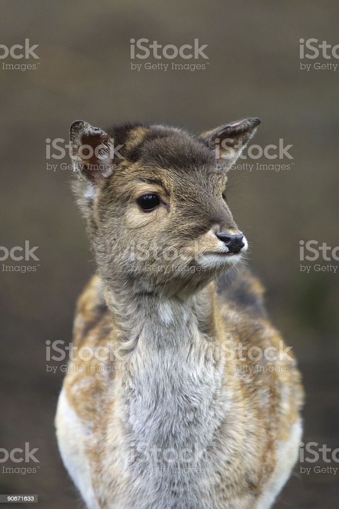 young deer closeup royalty-free stock photo