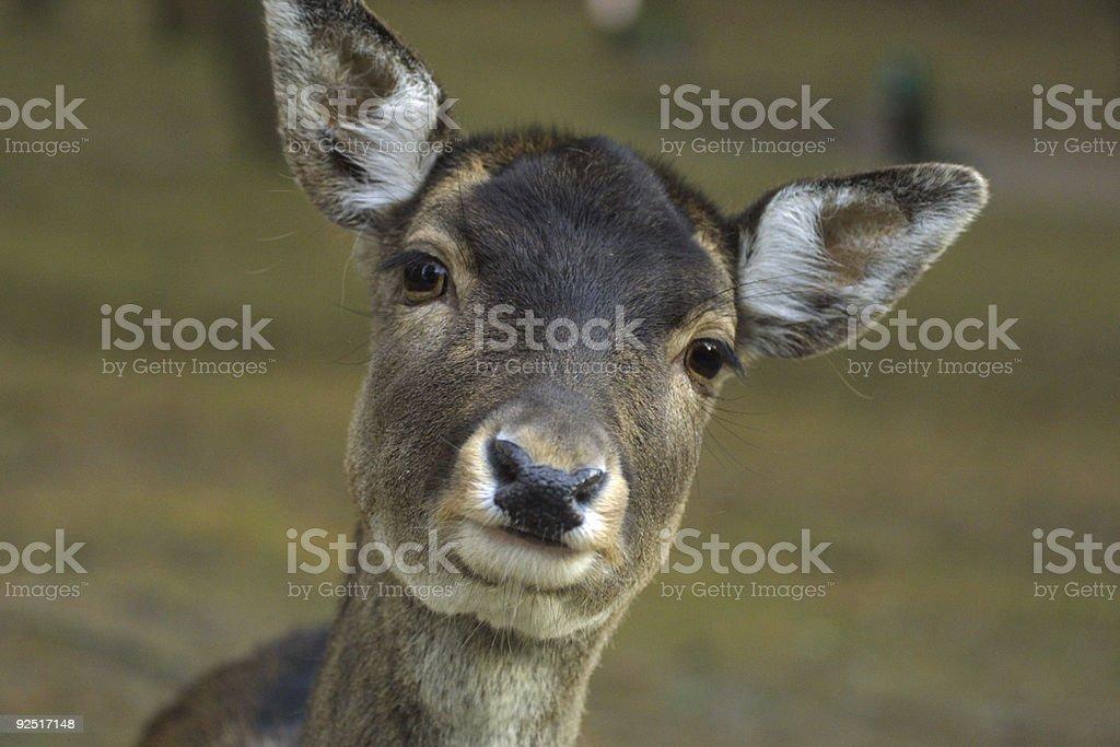 young deer closeup royalty-free stock photo