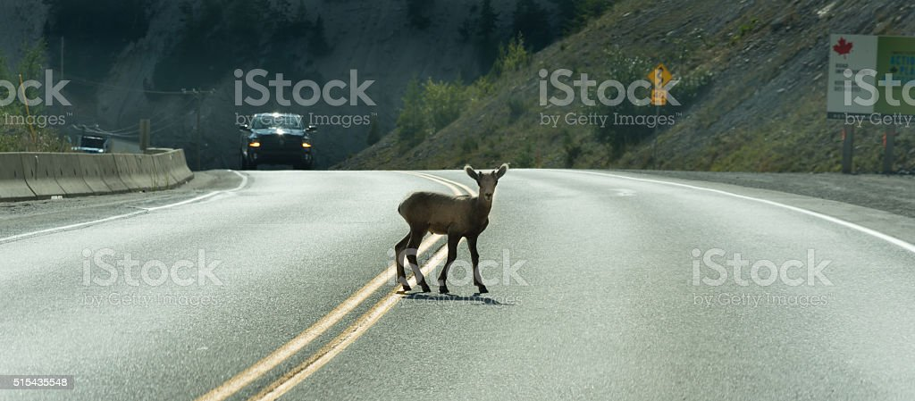 Young Deer walks across highway on a blind curve stock photo