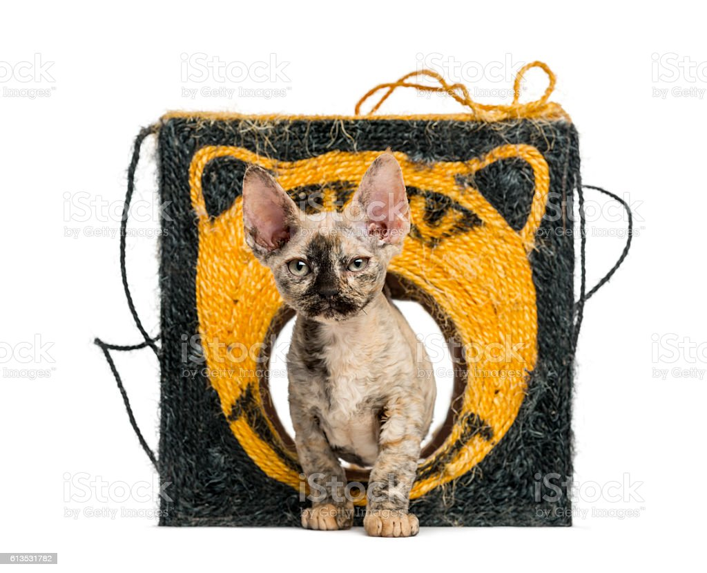Young devon rex kitten staring isolated on white stock photo